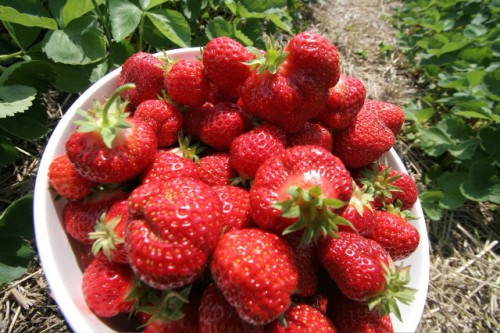 strawberries field local pick