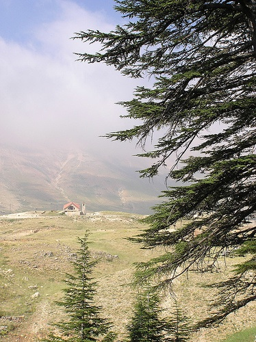 lebanon-cedars