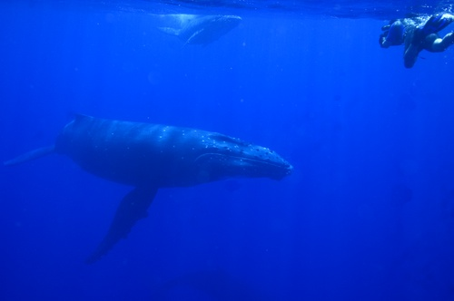 swimming with whales image