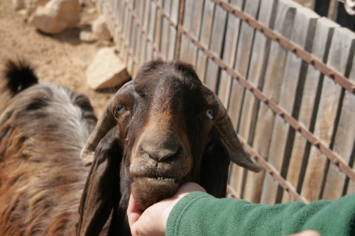 don goat israel herd land photo