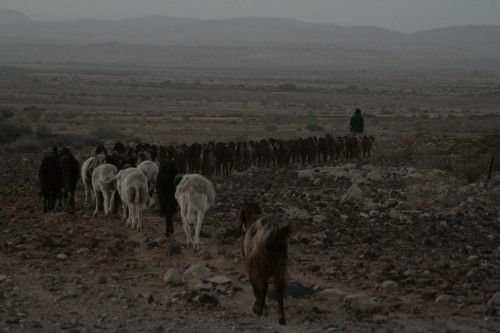 goat herd sunrise israel photo