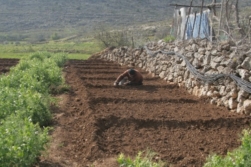 onion terrace abu-ibrahim organic eco-baladi farm west bank palestinian