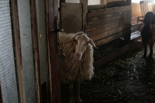 sheep abu-ibrahim organic eco-baladi farm west bank palestinian