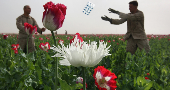 Afghan opium growers get the burn out green prophet afghanistan poppy opium heroin photo growers farm afghan mightylinksfo